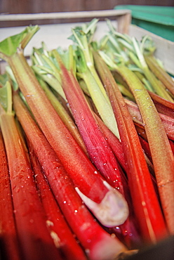 freshly harvested rhubarb ready for processing as liquor, fine spirits from Boetzingen, Black Forest, Baden-Wuerttemberg, Germany