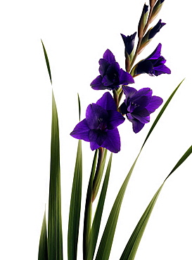 Gladiolus with purple flowers, Iris, Flower