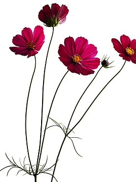 Garden cosmos, Asters, Blossom, Flowers