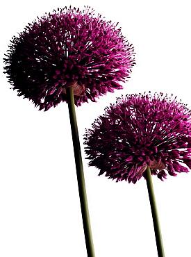 Flowering chives, Blossom, Flower