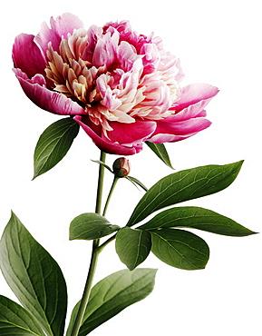 Peony flower in bloom, Blossom, Botanic