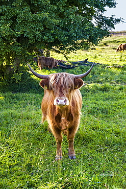 Galloway cattle, Holnis penninsula, Baltic Coast, Schleswig-Holstein, Germany