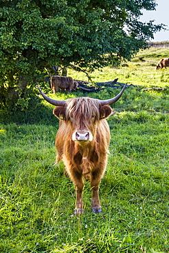 Galloway cattle, Holnis penninsula, Baltic Coast, Schleswig-Holstein, Germany