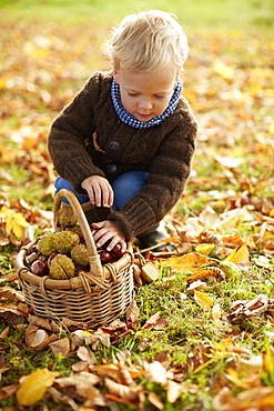 Boy, age 5, collecting chestnuts, Uffing, Staffelsee, Upper Bavaria, Bavaria, Germany