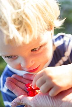 Girl, 2 years old, raspberries from the forest, summer, Baltic sea, MR, Bornholm, Strandmarken, Denmark, Europe