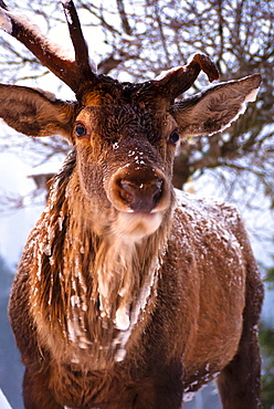 Frontal closeup of a full grown deer with broken antlers in winter, Oberstdorf, Germany, Oberstdorf