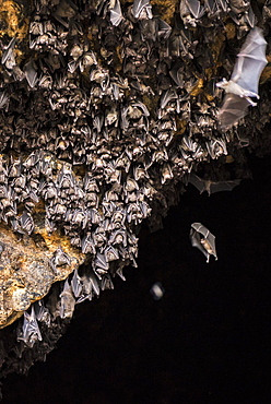 Bat colony in front of the cave entrance, near Padangbay, Bali, Indonesia