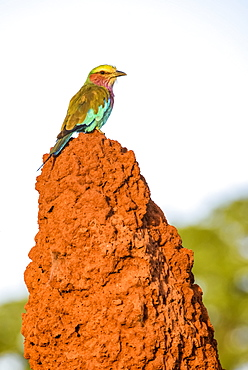 Lilac-breasted Roller (Coracias caudata) perched on termite mound in Tarangire National Park, Tanzania
