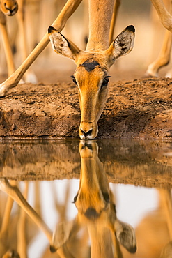 Impala (Aepyceros melampus) drinking water with it's reflection showing in the surface of the pond, Mashatu Game Reserve, Botswana