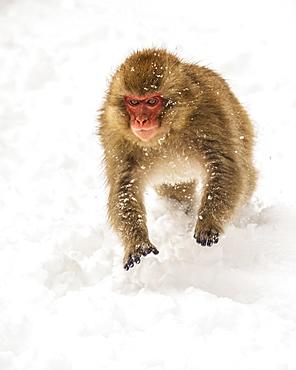 Japanese macaque, also known as Snow Monkey, (Macaca fuscata) playing in the snow, Jigokudani, Yamanouchi, Nagano, Japan