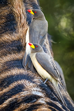 Two yellow-billed oxpecker (Buphagus africanus) clinging to Masai giraffe (Giraffa camelopardalis tippelskirchii), Serengeti National Park, Tanzania
