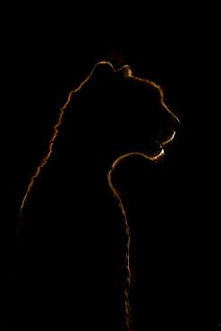Close-up of golden cheetah (Acinonyx jubatus) silhouette in darkness, Serengeti National Park, Tanzania