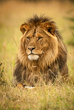 Male lion (Panthera leo) lies in grass staring left, Serengeti National Park, Tanzania