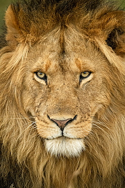 Close-up of male lion (Panthera leo) head staring out, Serengeti National Park, Tanzania