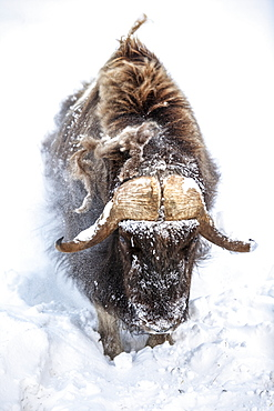 Large bull Muskox (Ovibos moschatus) in winter snowstorm, captive in Alaska Wildlife Conservation Center, South-central Alaska, Portage, Alaska, United States of America