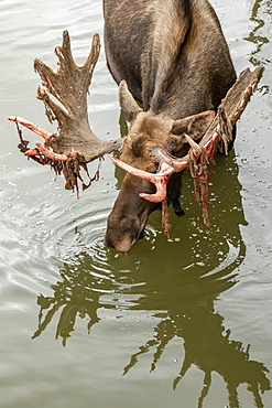 Mature bull moose (Alces alces) in water with shedding antlers, captive in the Alaska Wildlife Conservation Center, South-central Alaska, Portage, Alaska, United States of America