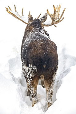 Mature bull moose (Alces alces) with antlers shed of velvet standing in snow, Alaska Wildlife Conservation Center, South-central Alaska, Portage, Alaska, United States of America