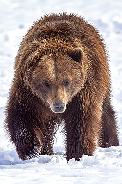 Large male Brown bear (Ursus arctos) walks towards camera in snow, captive at Alaska Wildlife Conservation Center, South-central Alaska, Alaska, United States of America
