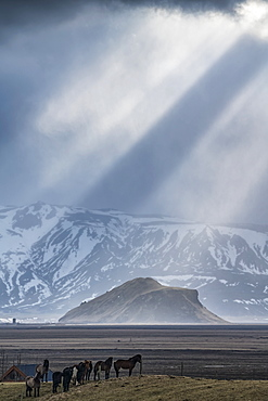 Group of horses standing on a knoll with beautiful light beams shining behind them creating an epic Iceland scene, Iceland