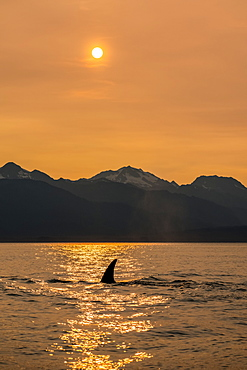 Killer whale (Orcinus orca), also known as Orca, swimming in Inside Passage with the Chilkat Mountains in the background, Alaska, United States of America