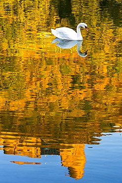 A white swan (Cygnus) in a river with a colourful golden reflection of a treed hillside with a castle ruin and blue sky, Bernkastel, Germany
