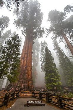 General Sherman, world's largest tree, Sequoia National Park, Visalia, California, United States of America