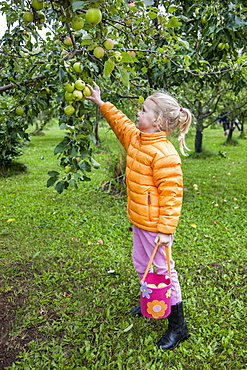 A young girl wearing an orange jacket holds a bag while reaching up to pick an apple from a tree branch, South-central Alaska, Anchorage, Alaska, United States of America