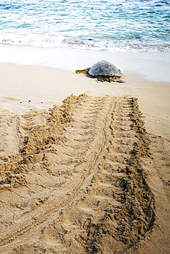 Endangered Hawaiian Green Sea Turtle (Chelonia mydas) making it's way back to the ocean, Maui, Hawaii, United States of America