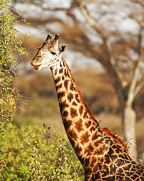 Giraffe eating from a tree, Ngorongoro Crater, Tanzania