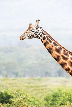 Giraffe (Giraffa), Ngorongoro Crater, Tanzania