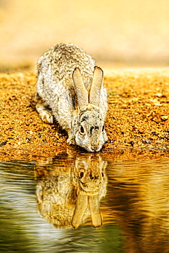 A rabbit drinks from the edge of a pond, Elephant Head, Arizona, United States of America