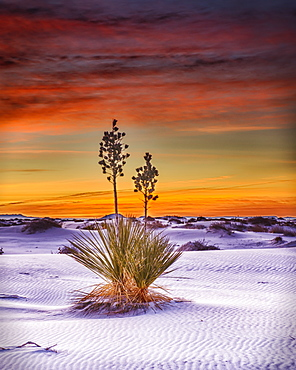 A Yucca plant growing in the white sand, White Sands National Monument, Alamogrodo, New Mexico, United States of America