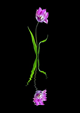 Purple and white tulip reflected in water on a black background - 1116-48130