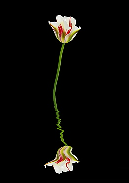 Red, green and white tulip reflected in water on a black background