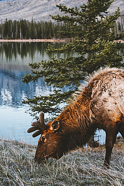 Elk (Cervus canadensis) grazing at the water's edge in Jasper National Park, Alberta, Canada