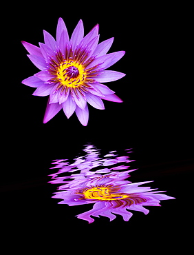 Vibrant purple flower reflected in water against a black background