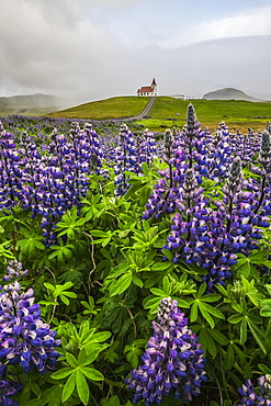 Wild lupines growing in the countryside of Iceland under dramatic skies and a road leading to a church in the distance, Snaefellsness Peninsula, Iceland