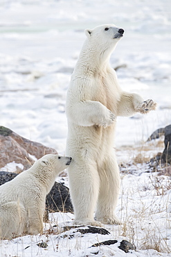 Mother Polar bear (Ursus maritimes) standing in the snow assessing danger, Churchill, Manitoba, Canada