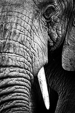 An African elephant (Loxodonta africana) stares at the camera, showing its wrinkled skin, long trunk and left eye and tusk, Ngorongoro Crater, Tanzania
