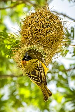 Masked weaver (Ploceus velatus) bird perched at nest entrance, Serengeti National Park, Tanzania