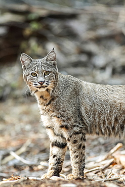 Bobcat (Lynx rufus) hunting in Yosemite National Park, California, United States of America