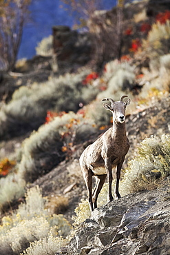 Bighorn sheep (Ovis canadensis) standing on rocks, Canada