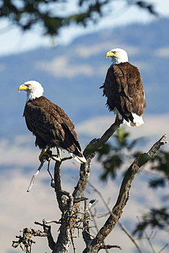 Bald eagles (Haliaeetus leucocephalus) sitting in a tree, Emigrant Lake, Oregon, United States of America