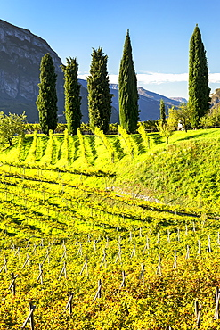 Rows of grapevines on rolling hills with tall trees and mountains in the background, Calder, Bolzano, Italy