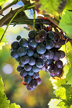 Close-up of clusters of purple grapes hanging from the vine, Caldaro, Bolzano, Italy