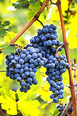 Clusters of purple grapes hanging from the vine, Caldaro, Bolzano, Italy