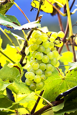 Cluster of white grapes hanging from the vine, Caldaro, Bolzano, Italy