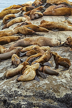 Steller sea lions (Eumetopias jubatus) hauled out on rocks at South Marble Island, big bull in the centre surrounded by cows, Glacier Bay National Park, Alaska, United States of America