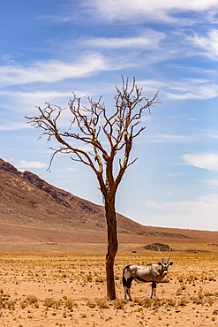 An antelope stands under a tree in the desert, Sossusvlei, Hardap Region, Namibia