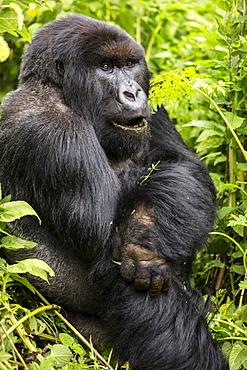 A gorilla sitting in the lush foliage, Northern Province, Rwanda